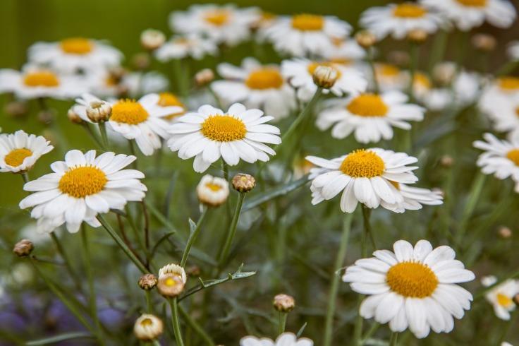 daisies-1411220_1920